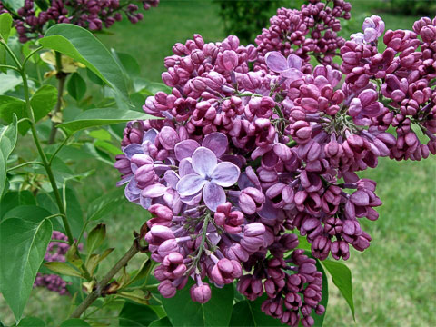 Blossoms at Manito Park Lilac Garden