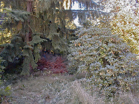Western hemlock, holly, rhododendron (2003)