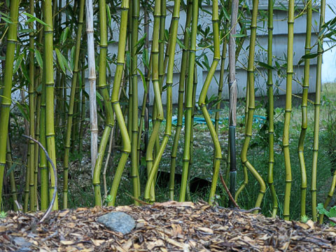 Arthritic bamboo