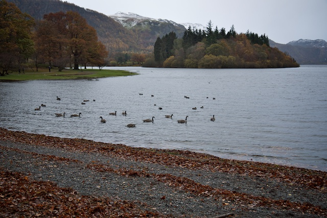 The water at Derwentwater started covering the grass; And we came all this way to see Canada geese?