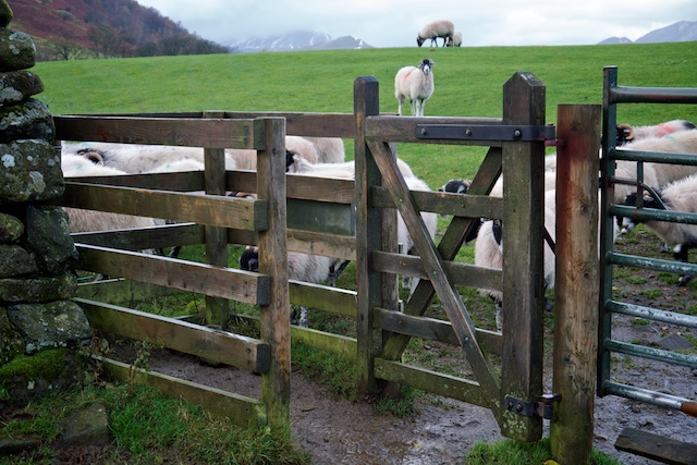 Sheep rushing towards a just-closed kissing gate