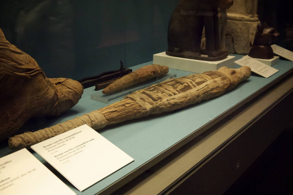 Alligator mummy