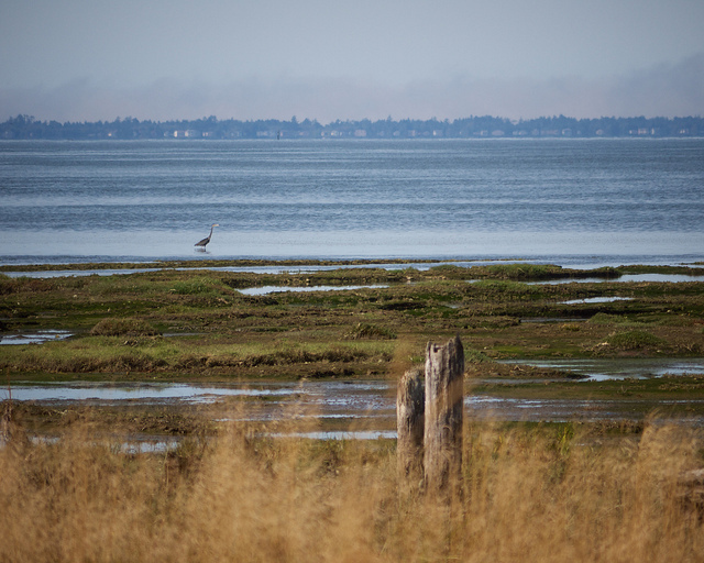 Great Blue Heron at Grays Harbor National Wildlife Ref