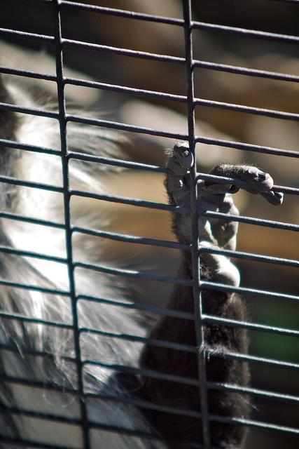 Colobus Monkey, San Diego Zoo. Kiron 70-150mm f/4, 1/125, ISO 100.