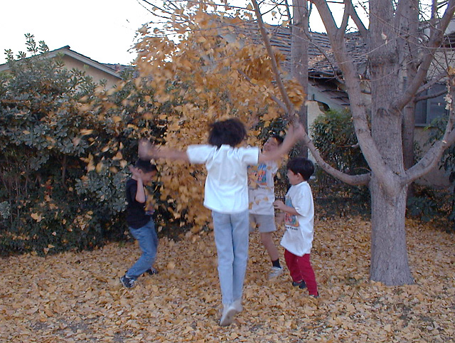 Kellen and Tynor tossing ginkgo leaves with their cousins. 1999.