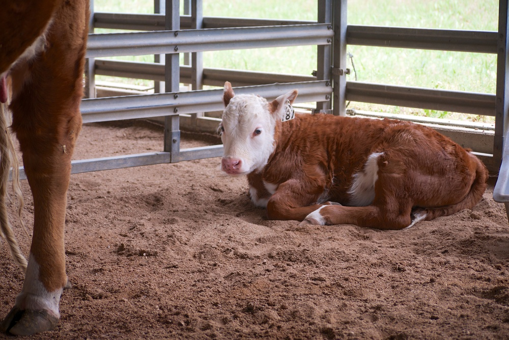 Hereford calf in the show barn