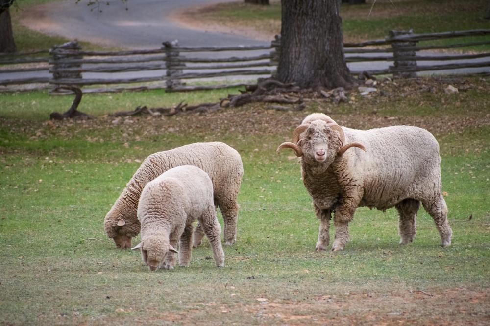 Sheep at the Sauer-Beckmann Living History Farm
