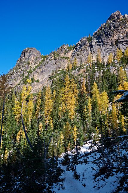 Larches changing color