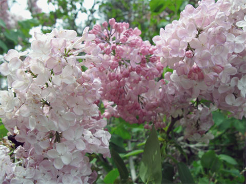 The Lilac Garden in bloom.