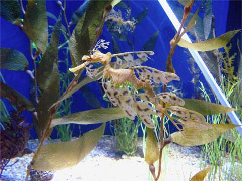 Leafy sea dragon.