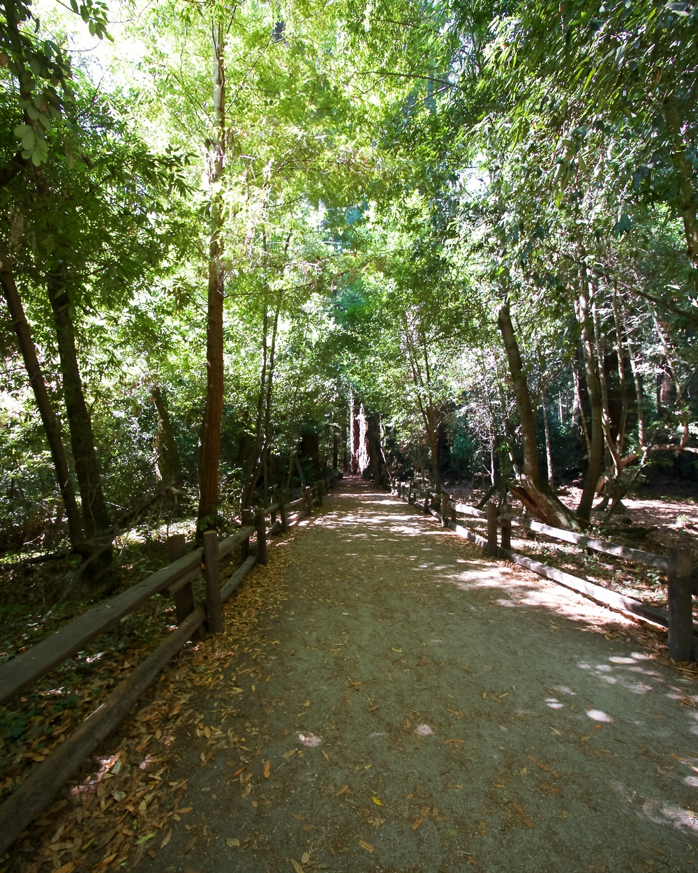 Redwood Grove Loop Trail at Henry Cowell Redwoods State Park