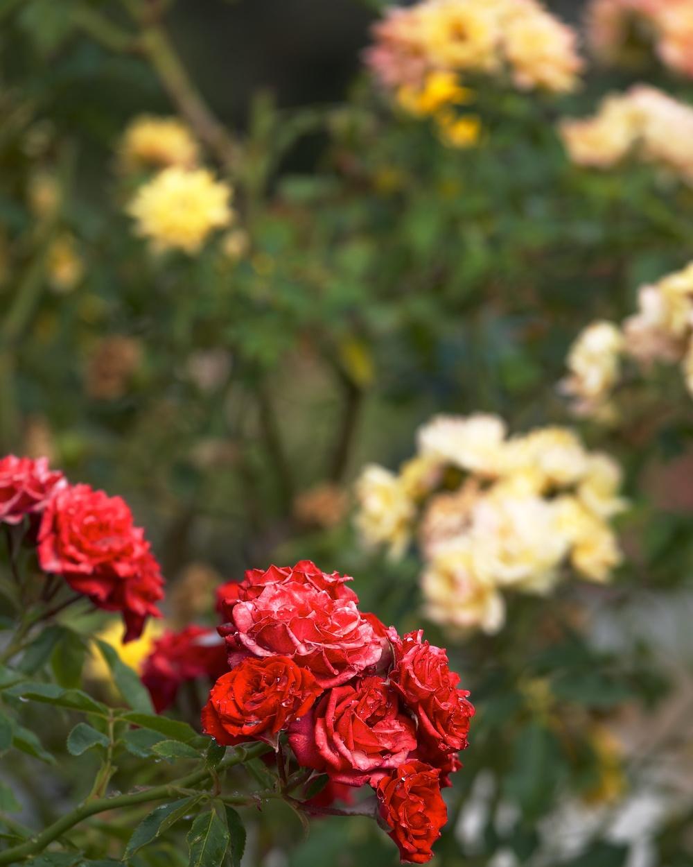 Heritage Rose Garden, Guadalupe Garden