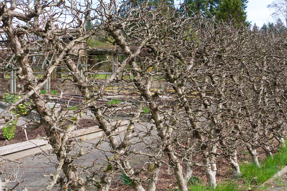 Espalier in the Food Garden