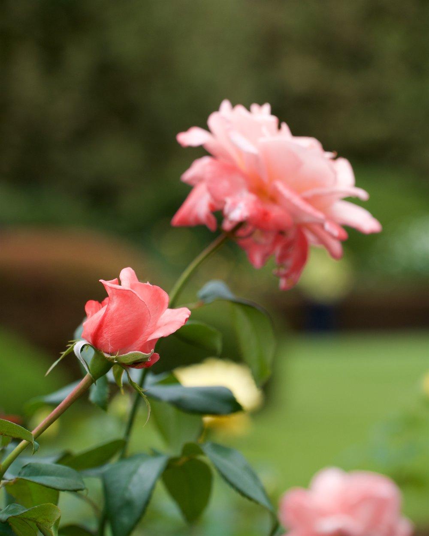 Friesia, French garden