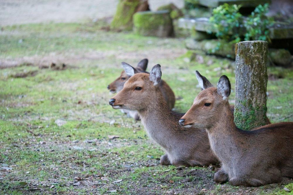 Deer at Momijidani Park
