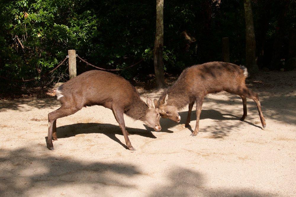 Dueling deer