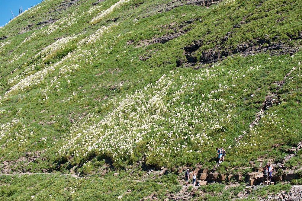 Lots of bear grass