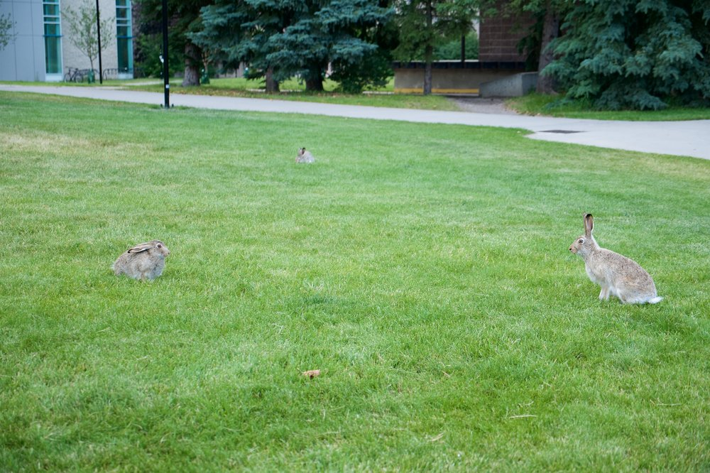 Hares on the University of Calgary campus