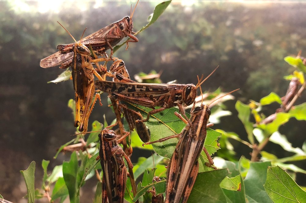 Acridid grasshoppers