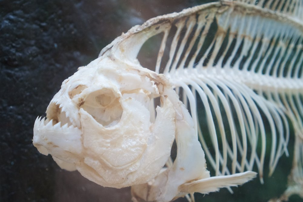 Piranha skeleton