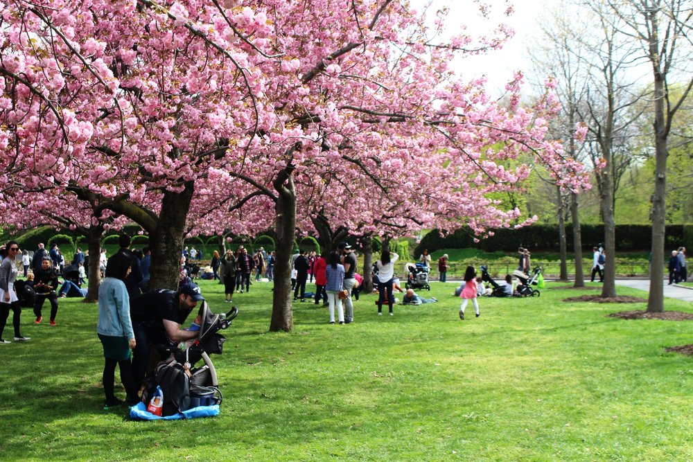 Brooklyn Botanic Garden: Cherry Blossom Season — ARTISAN & KING