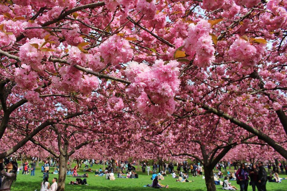 Brooklyn Botanic Garden Cherry Blossom Season Artisan King