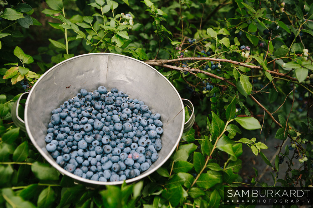 samburkardt_blueberries_kent_connecticut_001.jpg