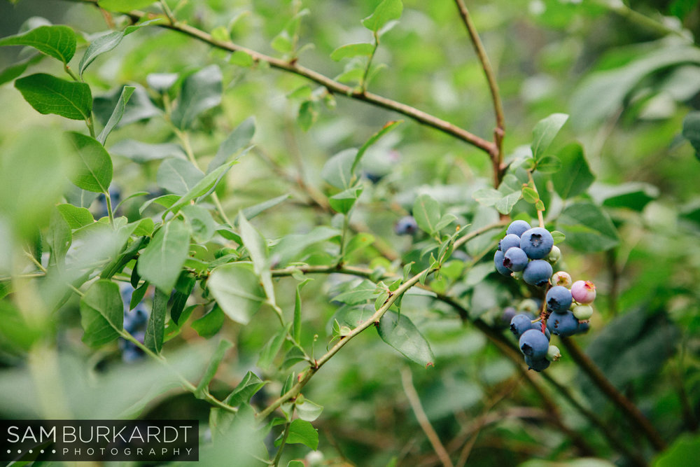 samburkardt_blueberries_kent_connecticut_011.jpg