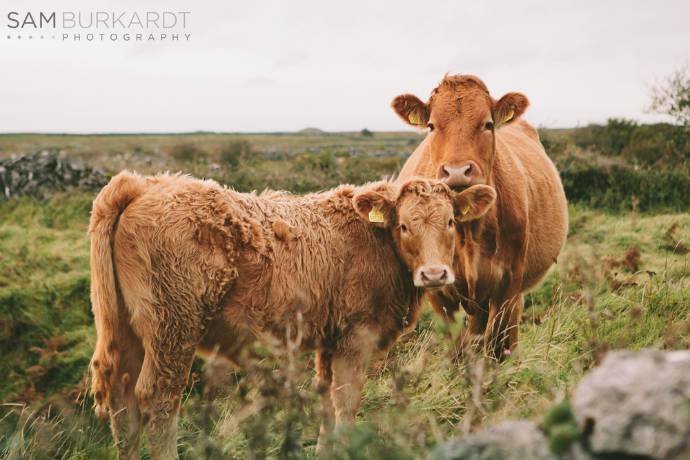 ireland_travel_scenic_photography_cows