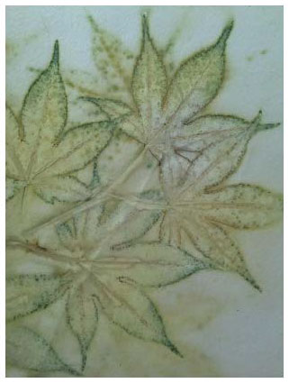 © 2017 Dana Ryan Perez, Sustainable Botanical Prints  is the title of Dana's three-year adventure. This piece is a Japanese Maple print from her Salt Lake home garden. It is steam and pressure printed to extract the natural pigments in the leaves, printed on Lettra paper. No chemicals involved.