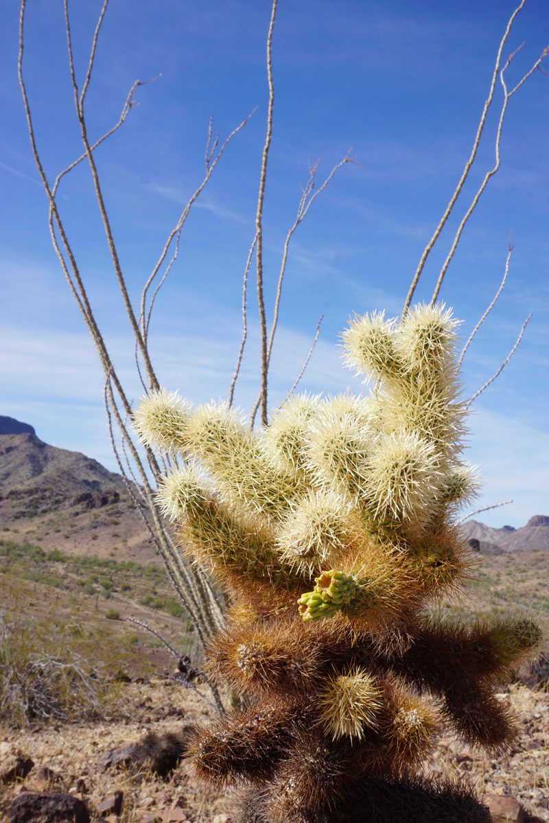 © 2018 Louise Levergneux, a Teddy Bear Cholla cactus in Arizona
