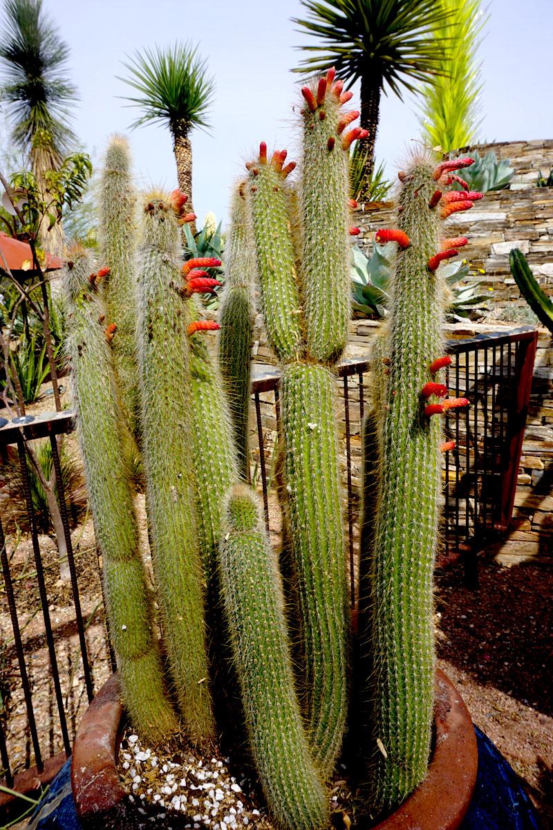 © 2018 Louise Levergneux. Organ Pipe cacti ready to bloom in the Desert Botanical Gardens in Phoenix /  Le cactus de pipe d'orgue prêt à fleurir dans le Jardin botanique du désert à Phoenix