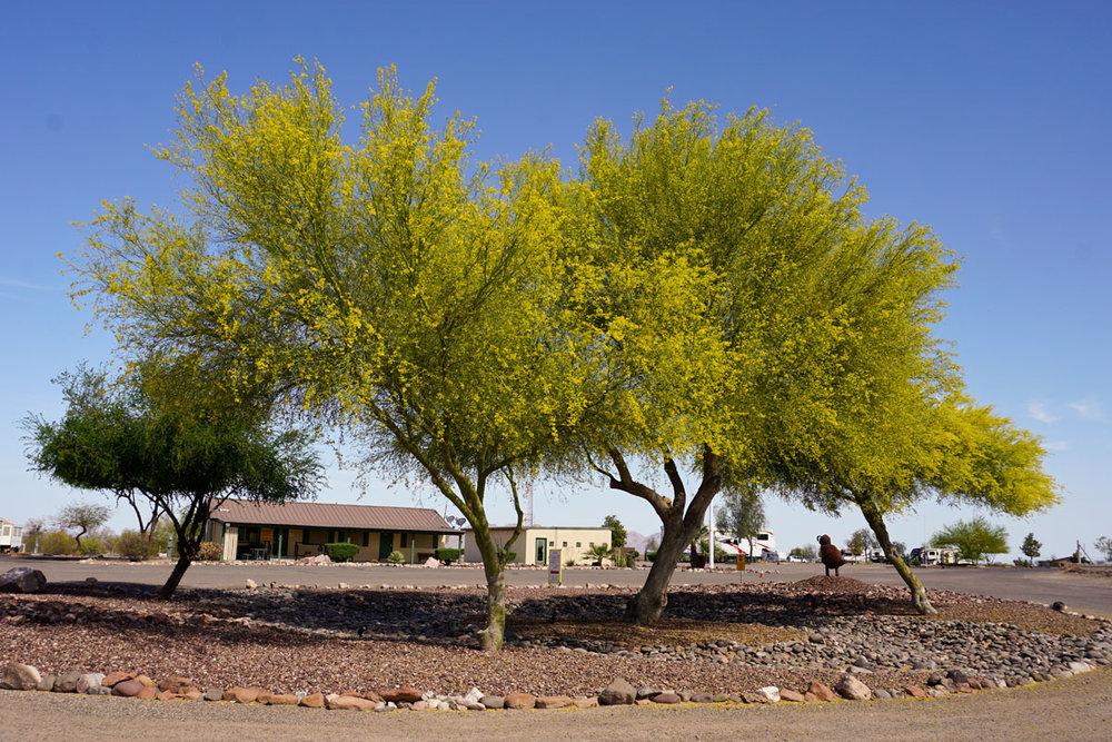 © 2018 Louise Levergneux. We leave Gila Bend for Utah, as the Palo Verde trees are in full bloom at the KOA /  Nous quittons Gila Bend pour l'État de l'Utah, lorsque les arbres Palo Verde sont en pleine floraison au camping KOA