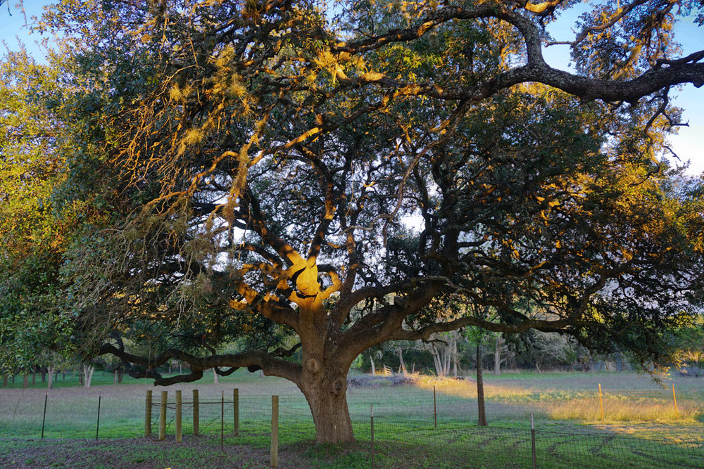 © 2018 Louise Levergneux. Quercus Virginiana on ranchland in Lexington, Texas