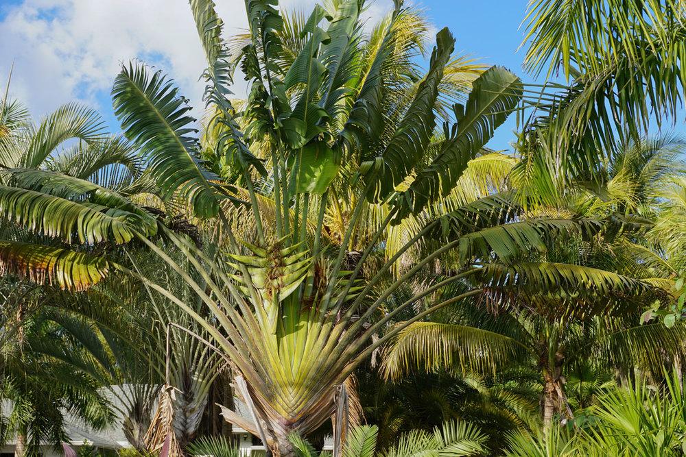 © 2019 Louise Levergneux. Travelers Palm Tree, Bokeelia, Pine Island. /  Le palmier voyageur à Bokeelia, Pine Island.
