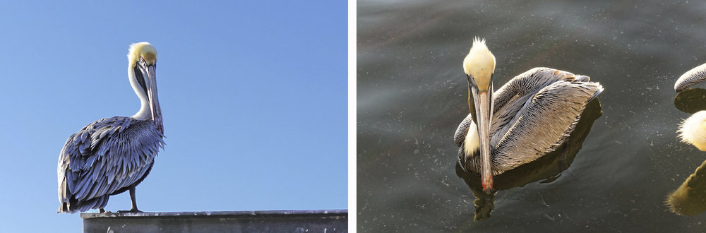 © 2019 Louise Levergneux. Brown Pelicans in St James City, Pine Island. /  Le pélican brun à St James City, Pine Island.