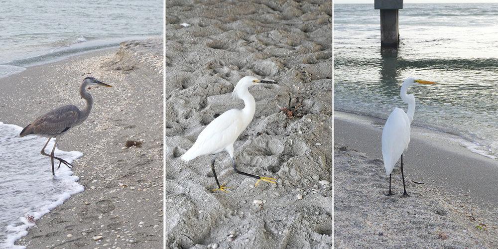 """© 2019 Louise Levergneux. We saw a strutting Great Blue Heron, a funny Great Egret, a """"fancy dancer"""" White Snowy Egret. /  Nous observons un grand héron bleu, une drôle d'aigrette, un « joli danseur » l'aigrette blanche enneigée."""