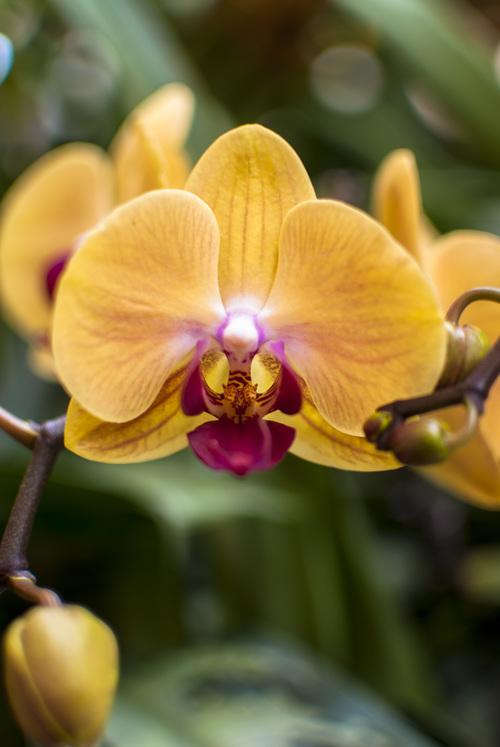 yellow phalaenopsis orchid jocelyn petruccio photo