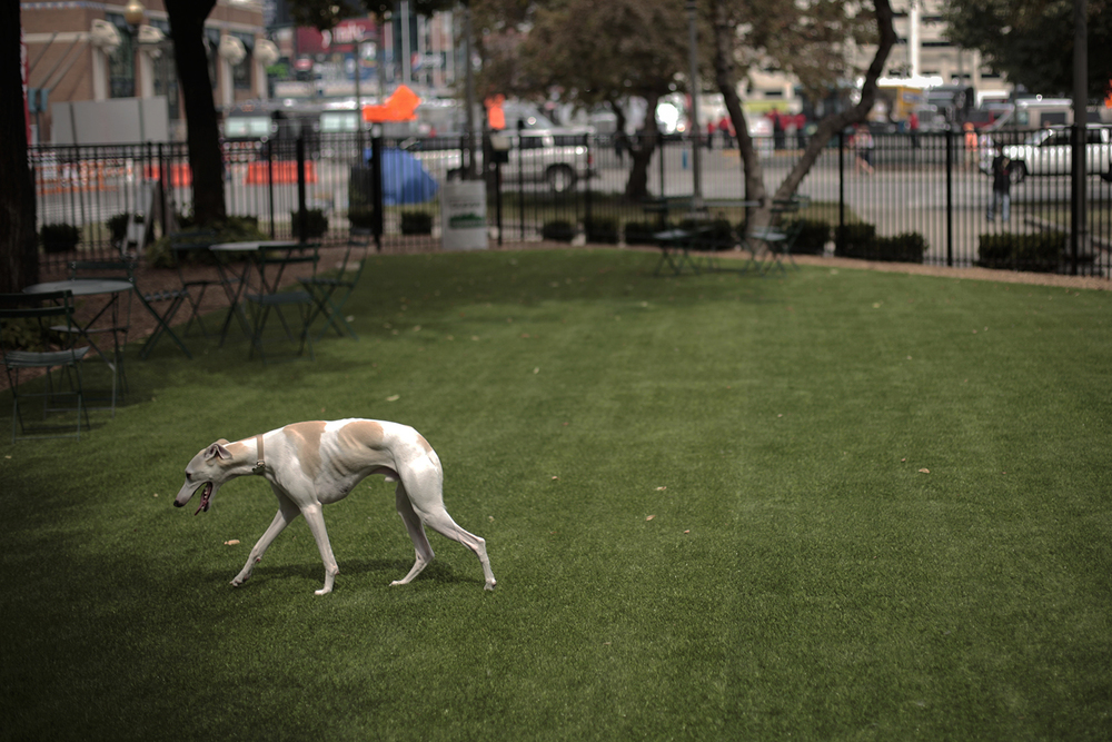 Inchie, a one year old Whippet, investigates the turf of the new dog park on Saturday, July 26, 2015 at Grand Circus Park in Detroit. Tim Galloway/Special to DFP