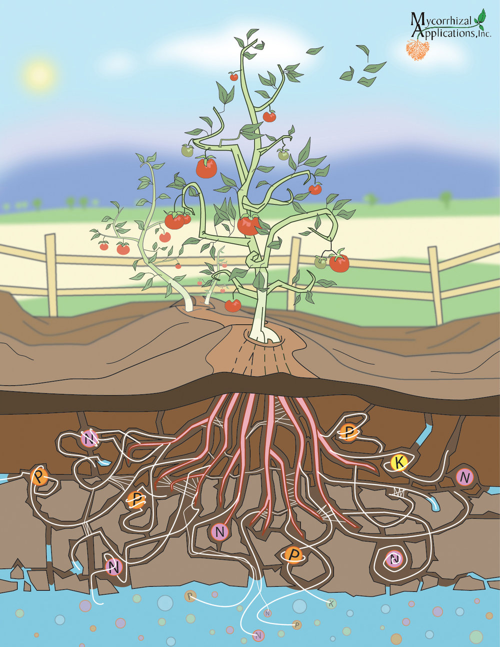 Tomato Plant Root System.jpg