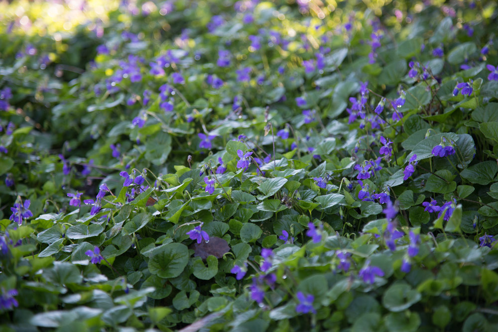 An enchanted fairy realm full of tiny purple flowers in the herb garden.