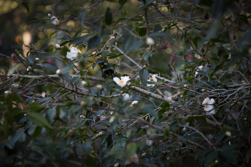 Camellia forest, Descanso Gardens