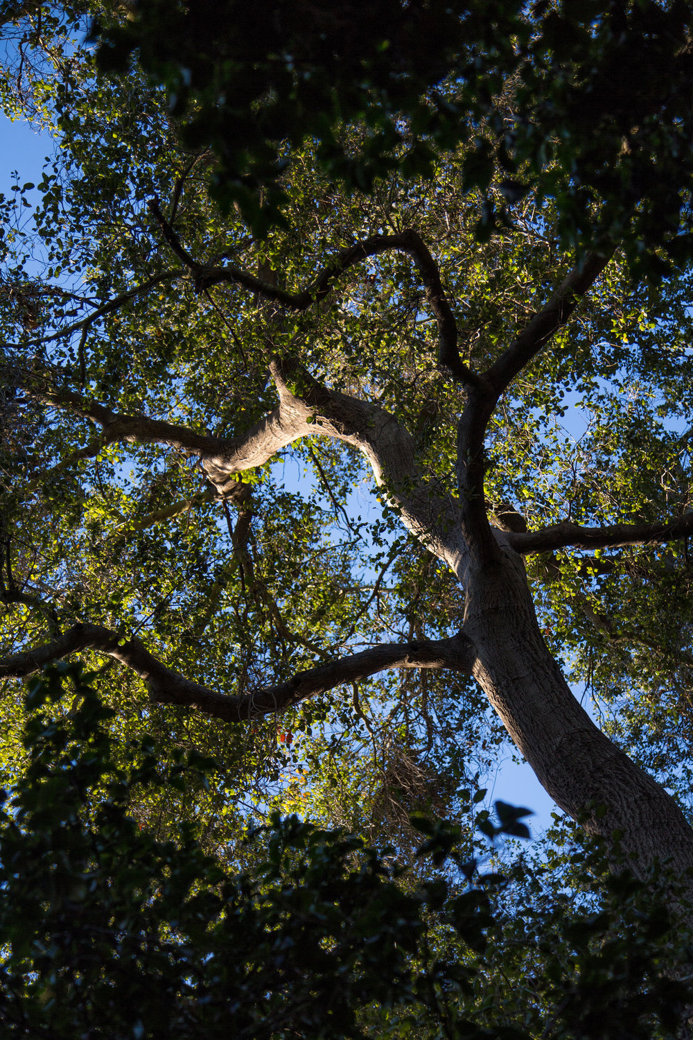 Beautiful Oak,  Descanso Gardens