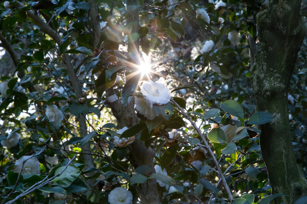 Magic in the camellia forest,  Descanso Gardens