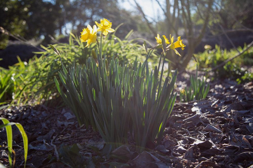 Daffodils,Los Angeles County Arboretum