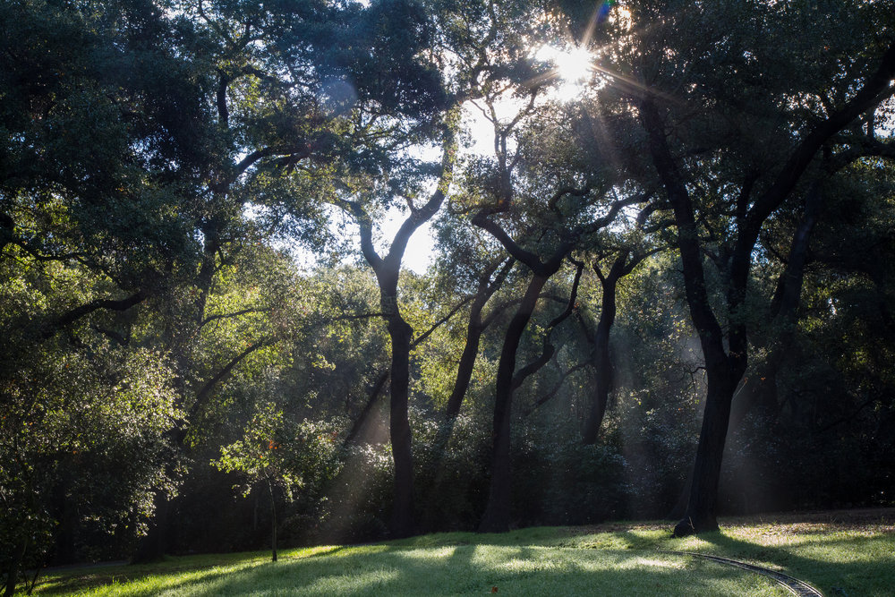 Sun rays shining through the oaks.