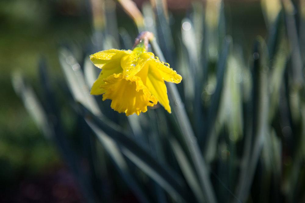 Wet daffodil.