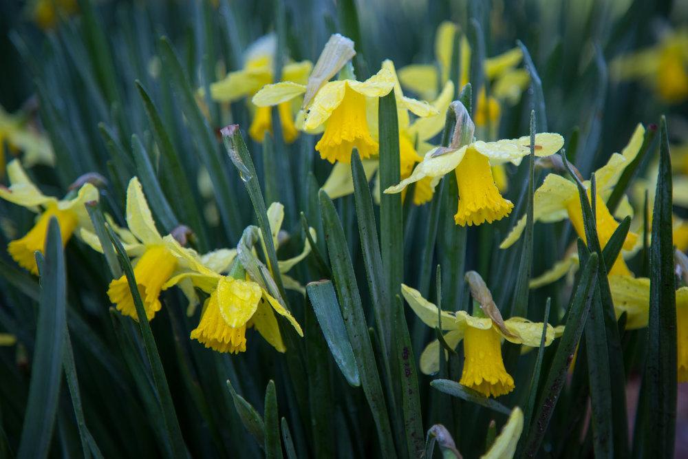 Bashful daffodils.
