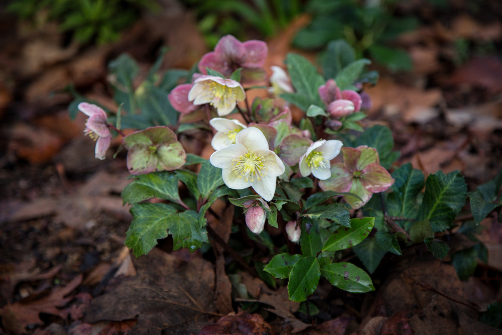 Hellebore is blooming all over the garden.
