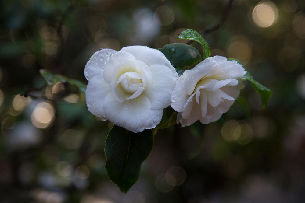 Creamy white camellia.